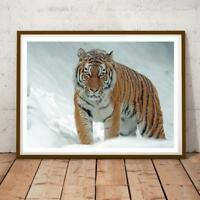 Nature 03 Tiger In Snow 34x22 INCHES PHOTO