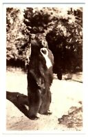 1937 RPPC Standing Yosemite Bear Real Photo Postcard