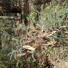 Acacia terminalis (Sunshine Wattle) seed 100gms fresh November 2013