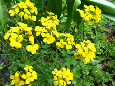 500 Siberian Wallflower Erysimim Cheiranthus Seeds
