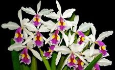 RARE OFFER CATTLEYA ORCHID SPECIES warscewiczii semi-alba BS/NBS seedling plant