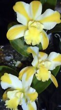 Cattleya Orchid ~ Blc. Solar Flare 'Paradise' Young Plant THANKSGIVING SPECIAL!!