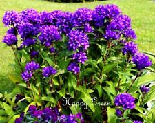 CLUSTERED BELLFLOWER GIANT - 2000 seeds -  Campanula glomerata Dahurica
