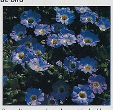 Flower - Nolana - Blue Bird - 20 Seed