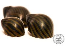 3 Zebra Nerites Free Shipping! Natural Algae Control