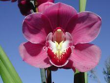 Cymbidium Flowering size Lunar Blaze x Lan Khan Deb  200mm Orchid