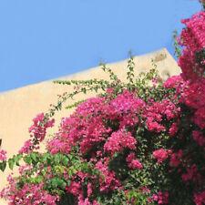 Egrow 100Pcs Garden Bougainvillea Glabra Choisy Seeds Climbing Garden Flower See