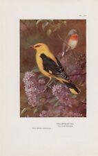 Pirol Oriolus oriolus Zwergschnäpper FARBDRUCK  1925 oriole flycatcher Thorburn