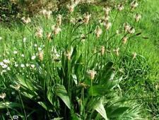 Narrow-leaved Plantain - Plantago lanceolata - 25+ seeds - Heirloom!
