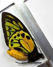SPECIAL extra golden dots ORNITHOPTERA CROESUS LYDIUS MALE, HALMAHERA, Indonesia