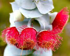EUCALYPTUS rhodantha Rose Mallee seeds ( E 6.)