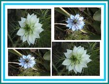 Graines NIGELLE DE DAMAS fleur annuelle