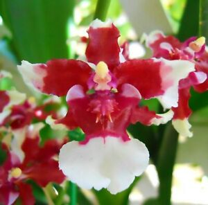 Chocolate Orchid live plant~oncidium Sharry Baby~SEEDLING size~Fragrant