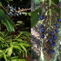 NATIVE GINGER (Alpinia Caerulea) SEEDS 'Bush Tucker Plant'