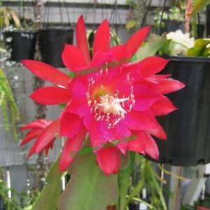 EPIPHYLLUM Orchid Cactus (Puerto Vallarta) EH2 Cutting (Will Combine Post)