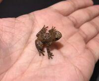 RARE Kaiyodo Yujin Play Vision Japanese Stream Ryuku Frog Toad SMALL PVC Figure