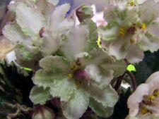 African violet: Jan Skazka- young plant