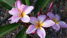 (2) Plumeria Plants- Hawaiian Flower (Grown from Seeds) Healthy (mystery color)