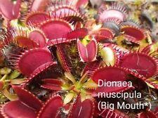 Venus Flytrap Seeds (10) - Dionaea muscipula (Big Mouth*)