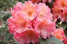 Rhododendron Honey Butter - Seven Gallon Plant - Bright Orange Blooms!