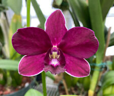 Dendrobium Mangosteen. Dendrobium Orchid Plant. Blooming Now!