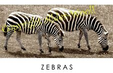 Zebras photograph in your choice of a black or white 6x4 frame