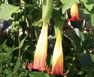 Brugmansia sanguinea Angels Trumpet Young Plant 9cm Pot x 3 Pots/Plants