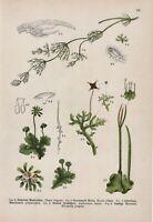 Gefleckter Schierling LITHOGRAPHIE von 1910 Dollkraut Conium maculatum