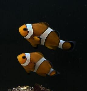 Pair Common Clownfish Marine Fish Saltwater Aquarium