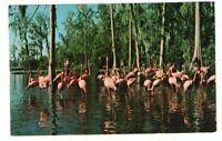 Unused Postcard Walt Disney World Treasure Island Beautiful Flamingos Florida FL