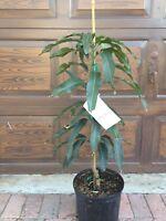 Ice Cream Mango Tree condo dwarf  live plant grafted