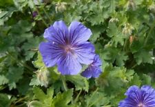 Geranium Medium Watering Perennial Flowers & Plants