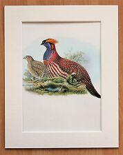 Tragopan Bird Asia - Mounted Vintage John Gould Print 1960s Book Plate