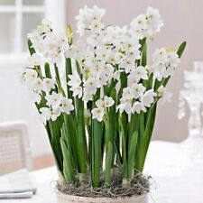 "Narcissus Tazetta Ziva Paperwhites 5 Bulbs 16""-20"" Indoor Forcing Now Shipping"
