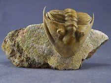 Russian trilobite  Rhinoferus mickwitzi (SCHMIDT 1898). Rare!
