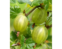 Amalaki Amla (Indian Gooseberry) Powder 1lb (16oz) Organic, All Natural