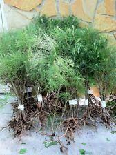 APPALACHIAN GROWN WHITE PINE TREE 3 FOOT STARTER TREE SEEDLINGS Ref#LWG1