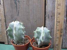 Lamaireocereus pruinosus - Gorgeous Silver cactus! Rare! Old!