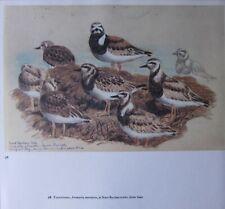 Beau Tunnicliffe Oiseau Imprimé ~ Turnstones