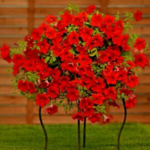 Surfinia Trailing Petunia Deep Red - 6 x large 10cms Strong ready garden plants