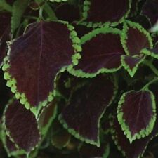 15 Pelleted Seeds Coleus Premium Sun Chocolate Mint Seeds