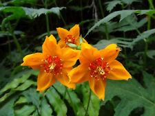 Loasa acanthifolia - Ortiga - 40 fresh seeds - Hardy perennial