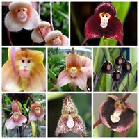 50pcs rare Monkey visage orchidée graines belle plante plantes maison de fleurs