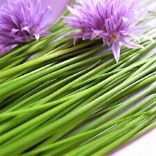 Ciboulette-Medium à feuilles - 900 graines [... instantanée Food Enhancement-Facile à Cultiver.]