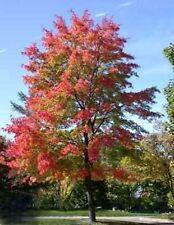 10 Semillas Acer Rubrum (Arce Rojo) Código 863