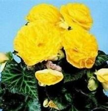Begonia - Nonstop Yellow F1 - 25 Seeds
