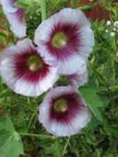 25 LAVENDER & PURPLE HOLLYHOCK Alcea Rosea Flower Seeds Perennial *Comb S/H