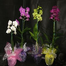 BIN- 4 Blooming/Budded Dendrobium Orchid Plants -Long lasting -A GIFT OF ALOHA!
