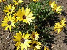 African Daisy (Dimorphotheca Aurantiaca)- Yellow- 100 seeds