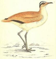 BIRDS: Courser (Morris); antique print 1880